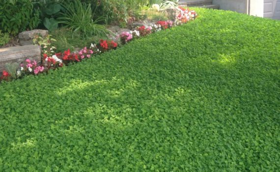 Image of lawn of clover