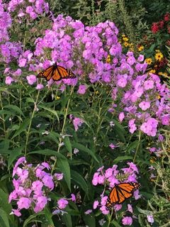 Image of flowers with monarch butterflies