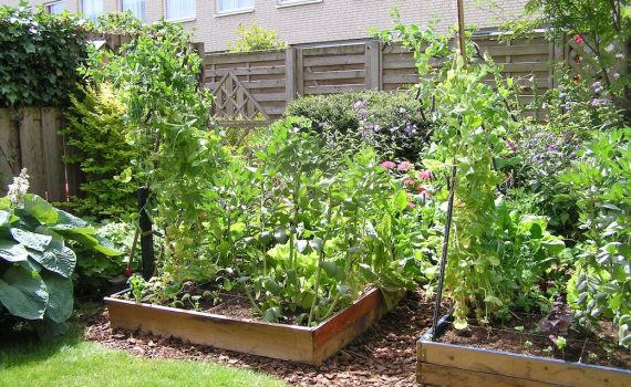 Image of raised bed vegetable garden
